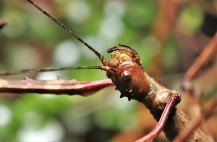 Female Acanthoxyla sp. stick insect