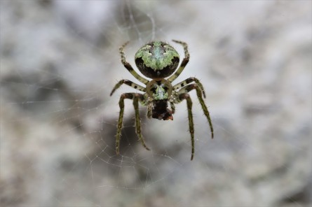 Orb web spider, probably Cryptaranea atrihastula