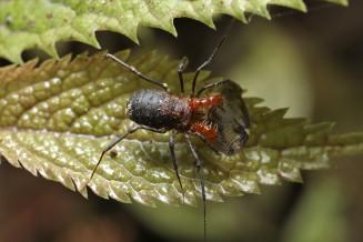 Male short-legged harvestmen, Soerensenella sp. feeding on a passion vine hopper, Scolypopa australis
