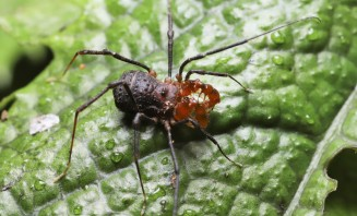 Male short-legged harvestmen, Soerensenella sp.