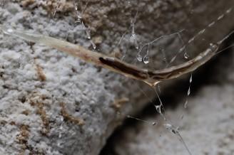 A glowworm larva, Arachnocampa luminosa