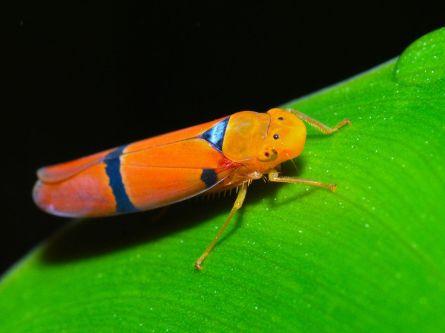 1200px-Orange_Leafhopper_(Cicadellidae)_(8296481071)