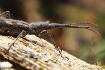 17Dec18_Waitomo__female_Lasiorynchus_barbicornis_giraffeweevil