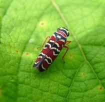 Agrosoma_placetis._Cicadellidae_-_Flickr_-_gailhampshire