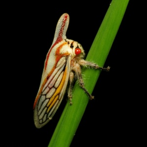 Oak_Treehopper_-_Flickr_-_treegrow.jpg